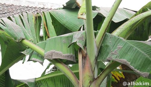 debu vulkanik di atas daun pisang